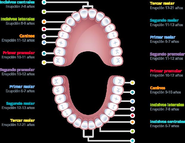 denticion permanente
